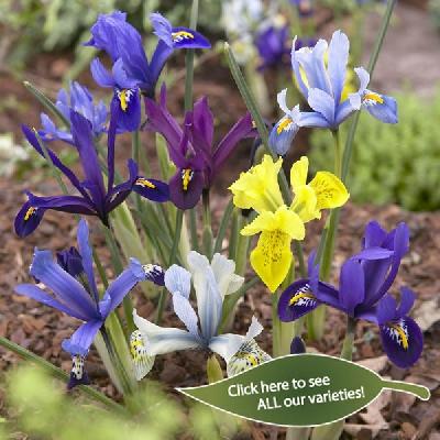 Iris reticulata - Dwarf Iris