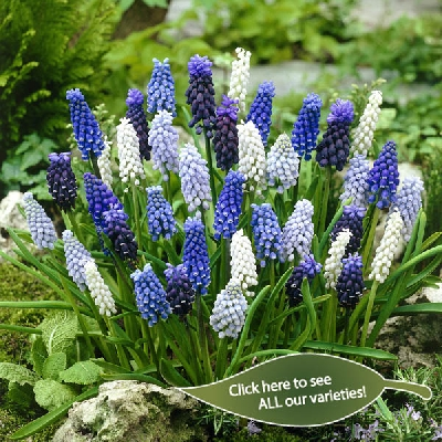 Muscari - Grape Hyacinths