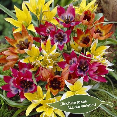 Tulipa Specie - Specie Tulip
