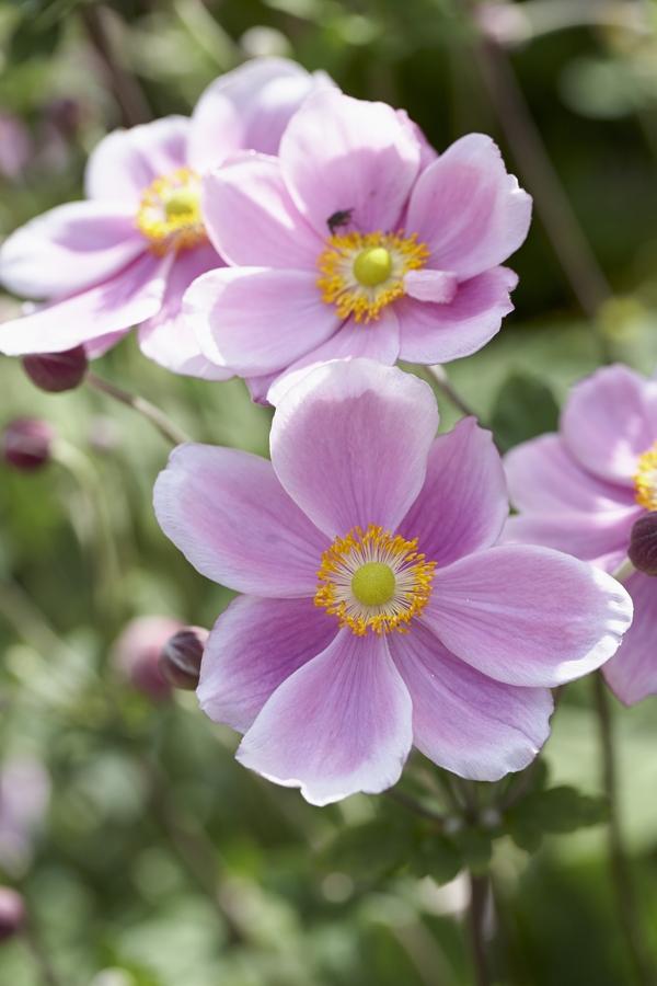 Anemone perennial