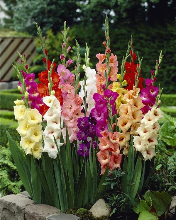 Gladiolus - Gladioli