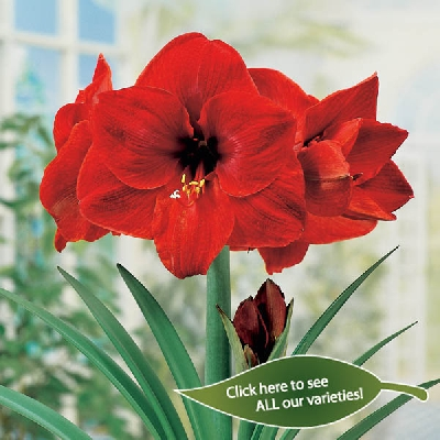Bulbs are easy indoor bulbs for Rempoter un amaryllis